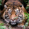 Sumatran tiger kills Indonesian construction worker